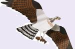 jackite bird image